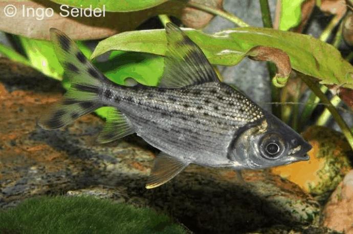 Semaprochilodus taeniurus - Schwanzstreifen-Salmler 3