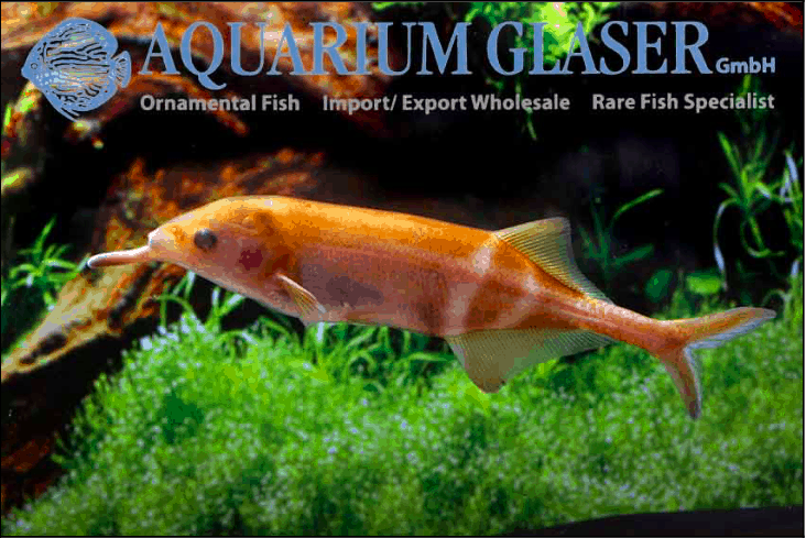 Gnathonemus petersii - Elefantenrüsselfisch 9