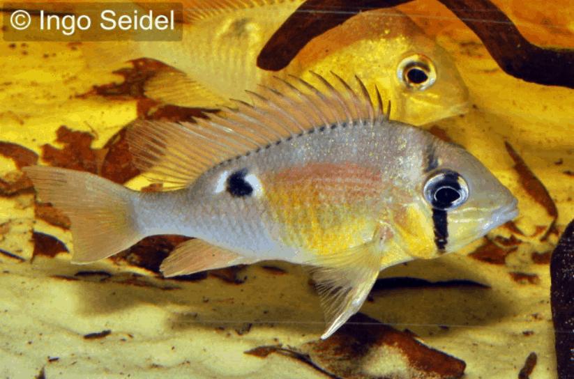 Biotodoma spec cupido - Schwanzstreifenbuntbarsch 8