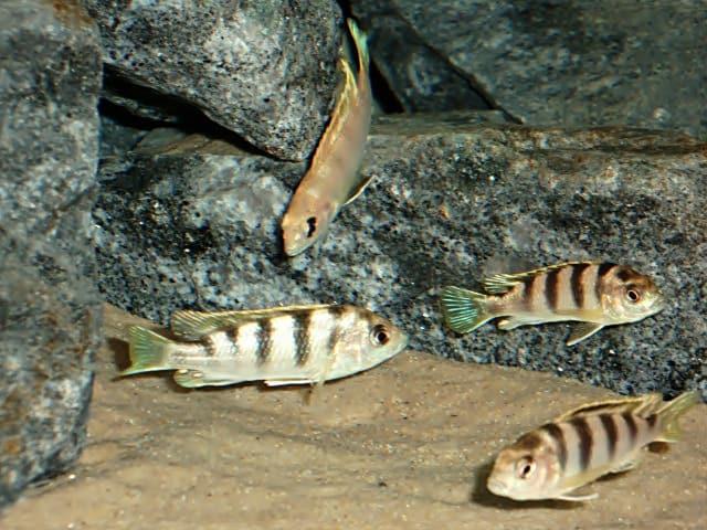 Labidochromis perlmutt labidochromis perlmutt my fish for Robuste zierfische