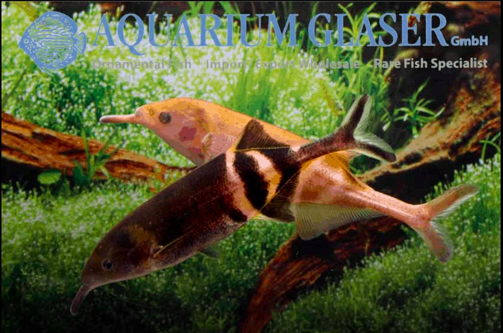 Gnathonemus petersii - Elefantenrüsselfisch 10
