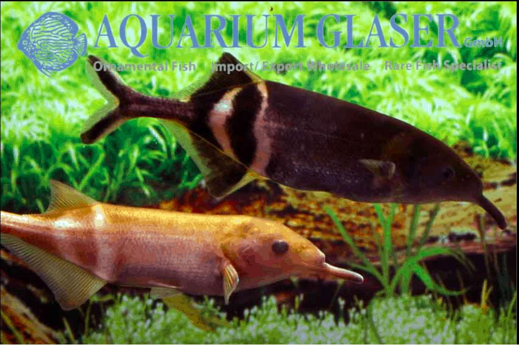 Gnathonemus petersii - Elefantenrüsselfisch 11