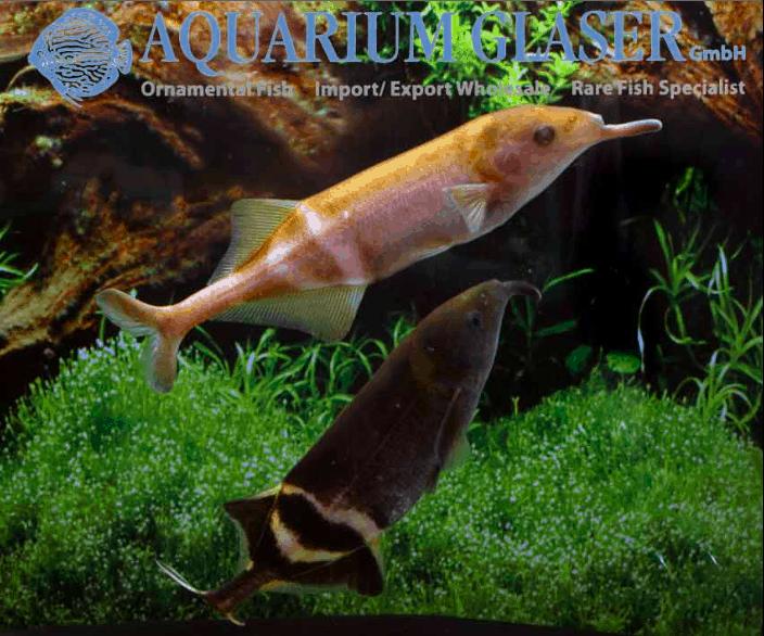 Gnathonemus petersii - Elefantenrüsselfisch 12