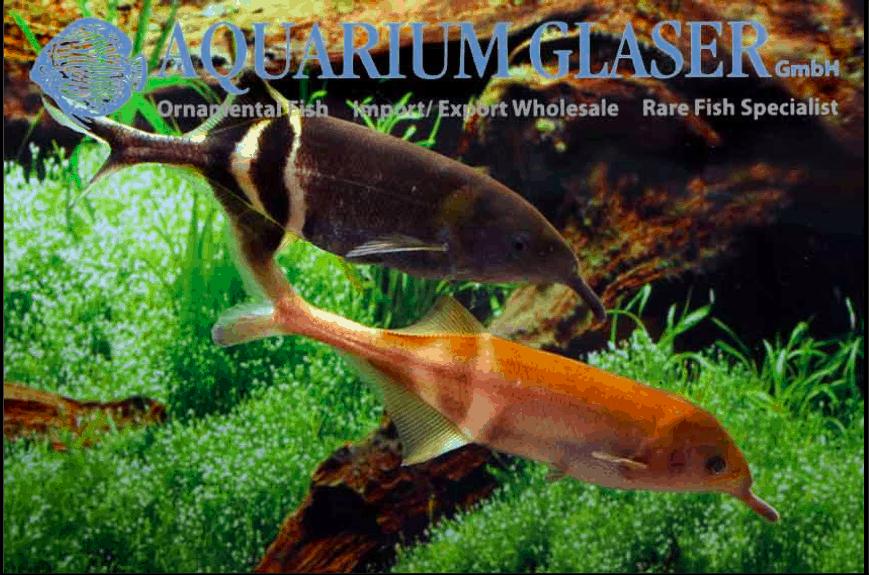 Gnathonemus petersii - Elefantenrüsselfisch 14