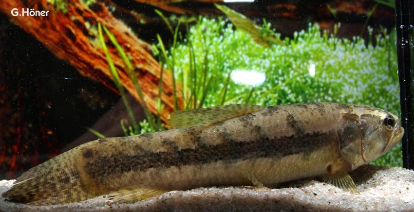 Hoplias malabaricus tigersalmler my fish for Robuste zierfische