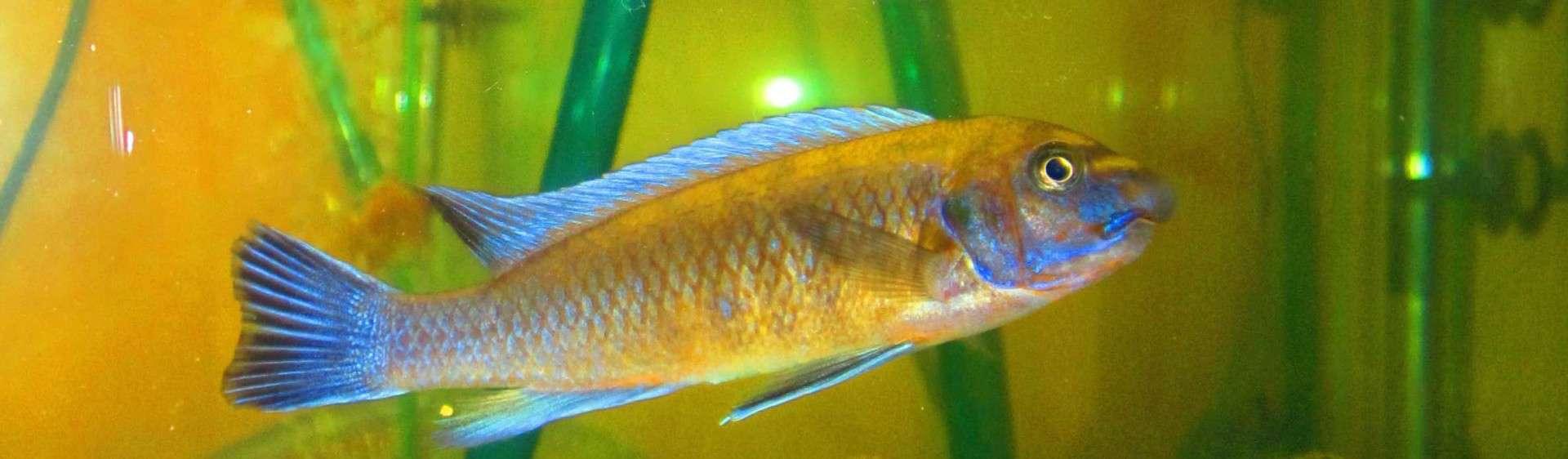 Labeotropheus trewavasae - Schabenmundmaulbrüter 2