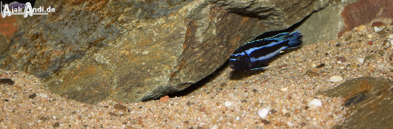 Melanochromis johannii - Kobalt-Orange-Buntbarsch 8