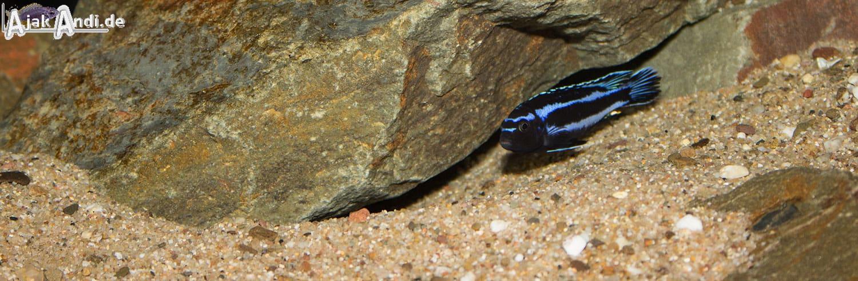 Melanochromis johannii - Kobalt-Orange-Buntbarsch 11