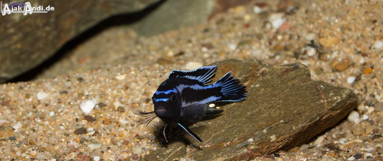 Melanochromis johannii - Kobalt-Orange-Buntbarsch 12