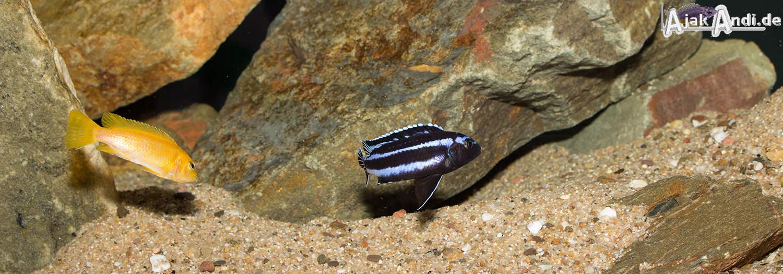 Melanochromis johannii - Kobalt-Orange-Buntbarsch 5