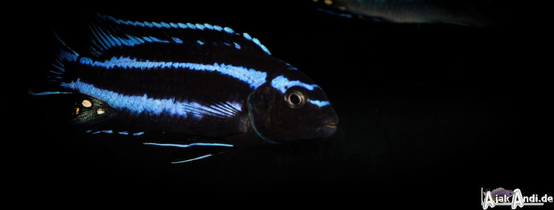 Melanochromis johannii - Kobalt-Orange-Buntbarsch 14