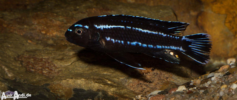 Melanochromis johannii - Kobalt-Orange-Buntbarsch 10