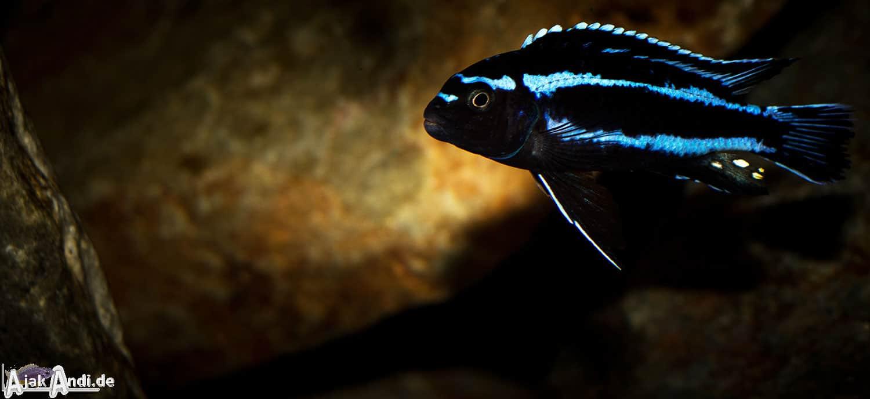 Melanochromis johannii - Kobalt-Orange-Buntbarsch 9
