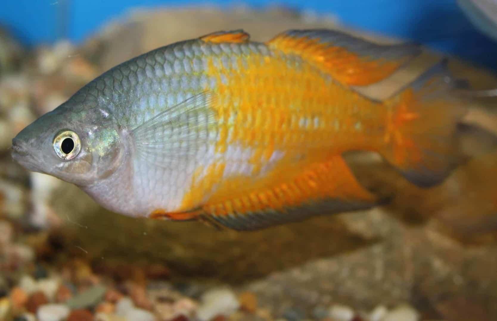 Melanotaenia parkinsoni - Parkinsons Regenbogenfisch 1