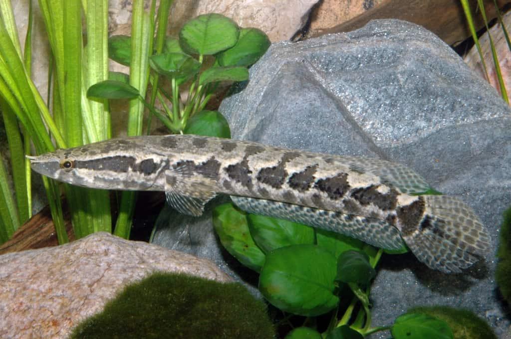 Parachanna obscura - Schlangenkopffisch 2