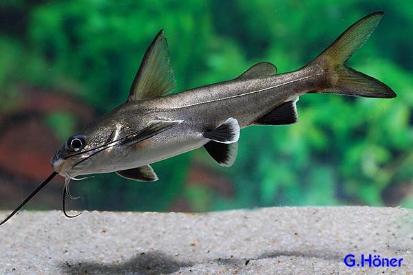 zum Vergleich: ein Silberwels/Minihai