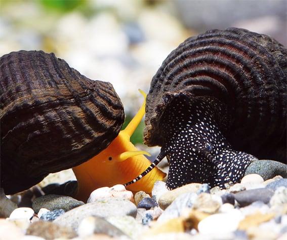 Tylomelania-Arten sind mittlerweile die beliebtesten Süßwasserschnecken der Aquarianer, Foto: C. Lukhaup