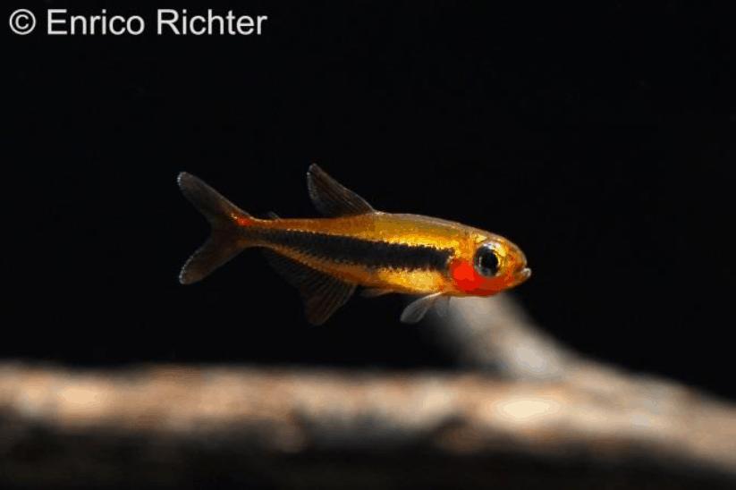 Tucanoichthys tucano - Salmler 1