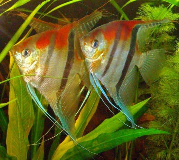 Foto: FLH. - Skalare, eine der beliebtesten Arten für Aquaristikanfänger, gehören auch zu den Buntbarschen.