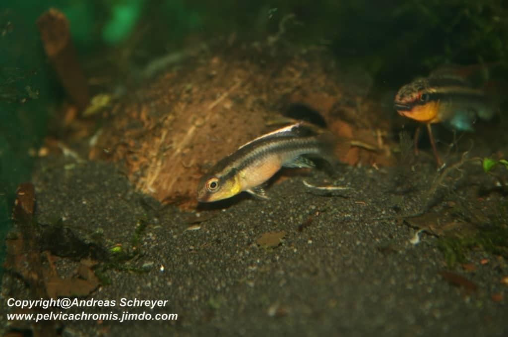 Congochromis dimidiatus - Kongocichlide 6