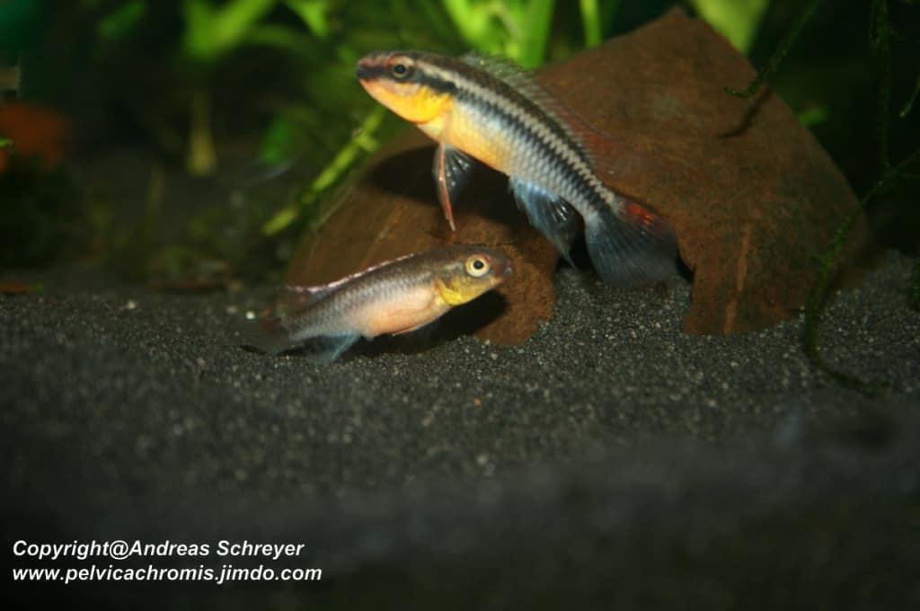 Congochromis dimidiatus - Kongocichlide 1