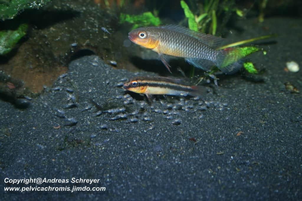Congochromis dimidiatus - Kongocichlide 3