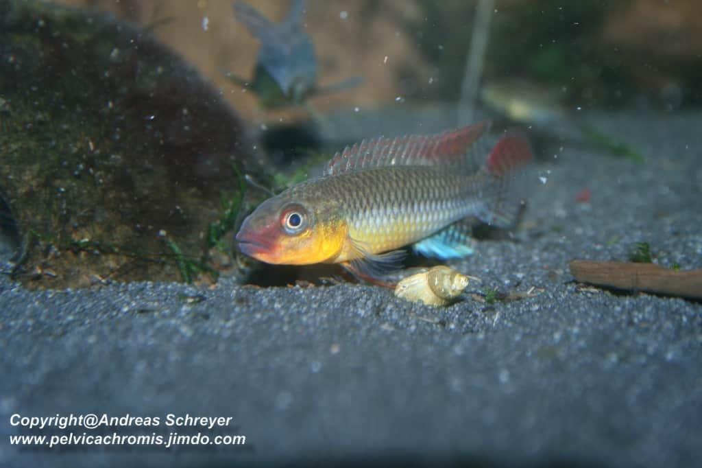 Congochromis dimidiatus - Kongocichlide 5