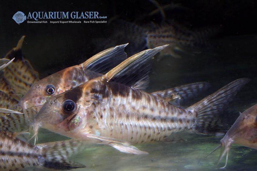 Corydoras robustus - Riesen-Panzerwels 5