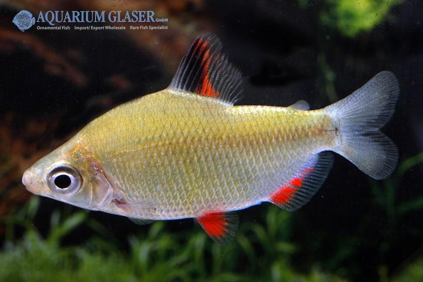 Distichodus affinis - Rotflossen-Distichodus 3