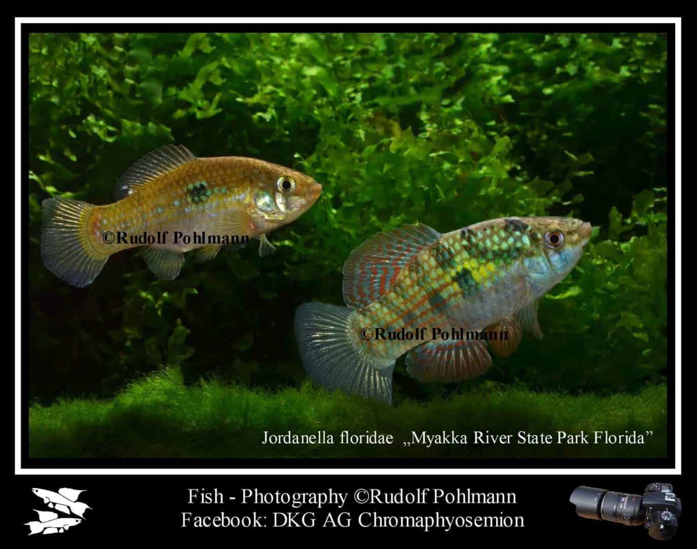 Jordanella floridae - Floridakärpfling 1