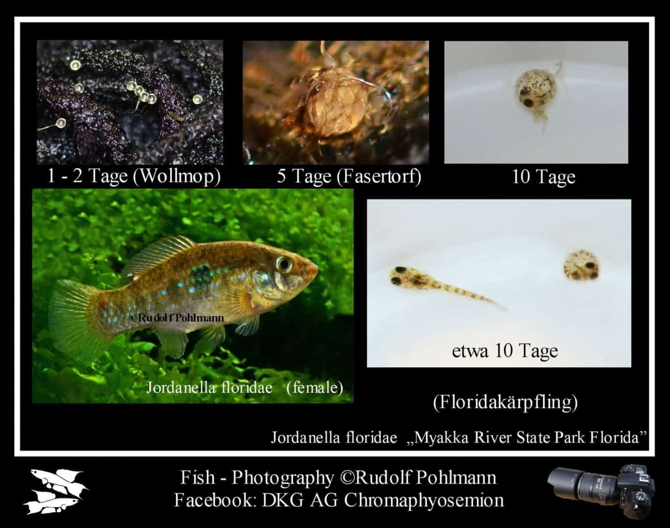 Jordanella floridae - Floridakärpfling 2