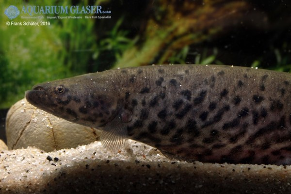 Gymnotus carapo geb nderter messerfisch my fish for Robuste zierfische