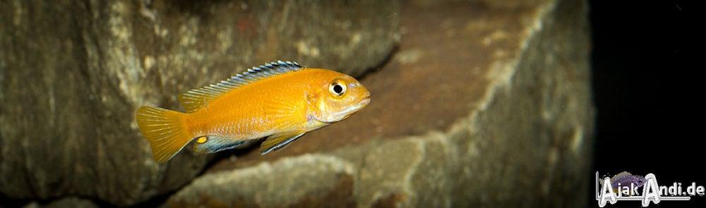 Melanochromis johannii - Kobalt-Orange-Buntbarsch 2
