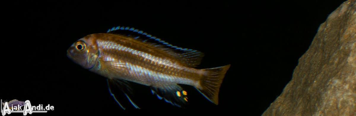 Melanochromis johannii - Kobalt-Orange-Buntbarsch 1