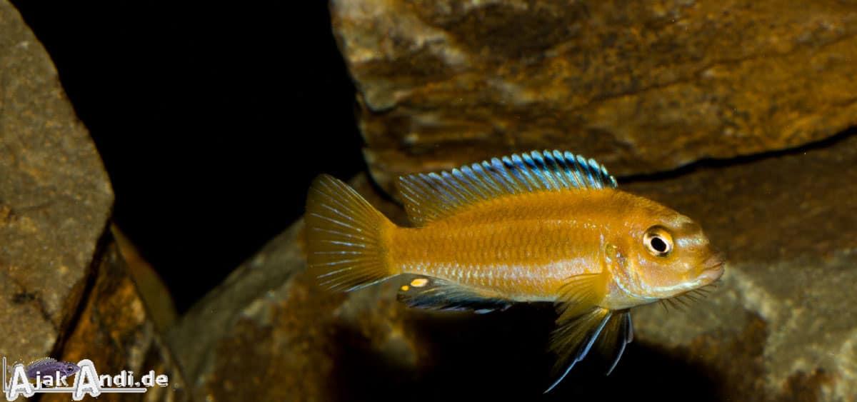 Melanochromis johannii - Kobalt-Orange-Buntbarsch 6