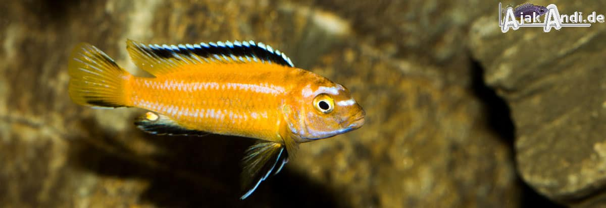 Melanochromis johannii - Kobalt-Orange-Buntbarsch 3