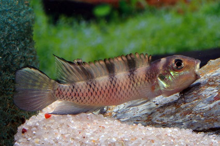 Nanochromis transvestitus - Zebra Zwergbuntbarsch 3