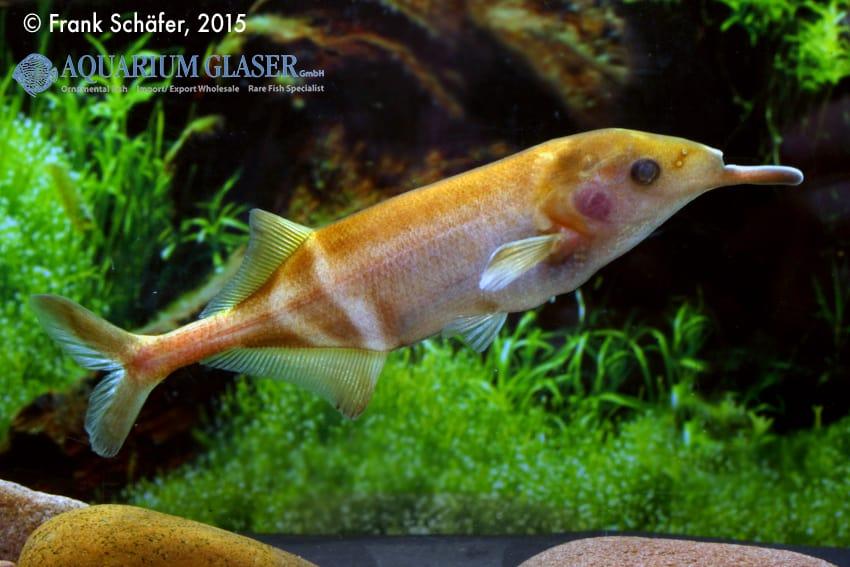 Gnathonemus petersii - Elefantenrüsselfisch 3