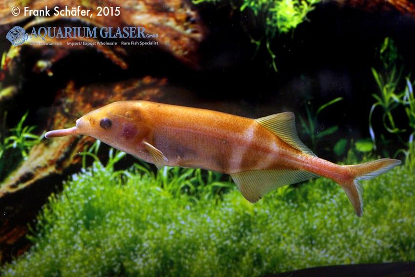 Gnathonemus petersii - Elefantenrüsselfisch 4