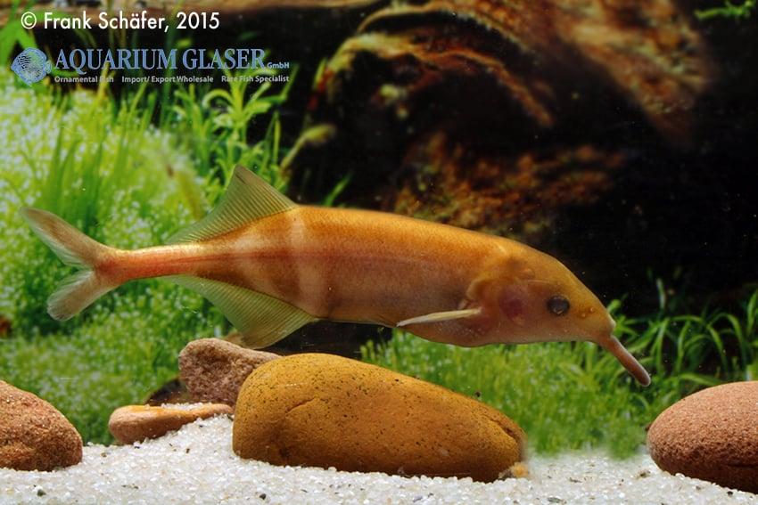Gnathonemus petersii - Elefantenrüsselfisch 6