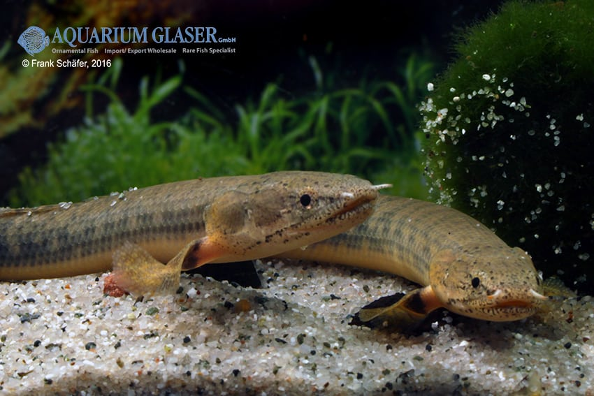Polypterus retropinnis fl sselhecht my fish for Robuste zierfische