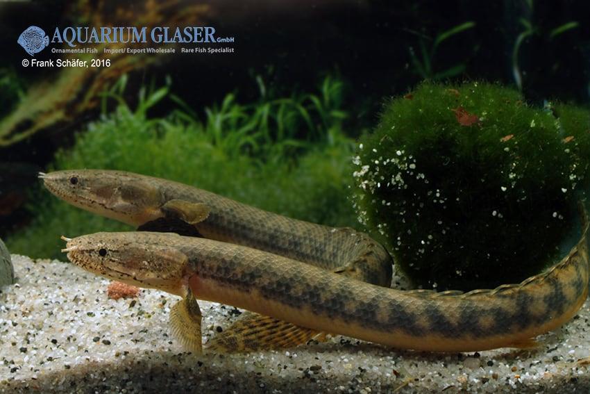 Polypterus retropinnis - Flösselhecht 3