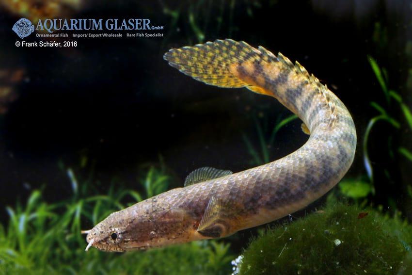 Polypterus retropinnis - Flösselhecht 6