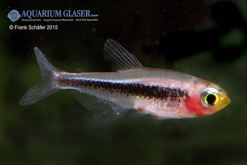 Tucanoichthys tucano - Salmler 2