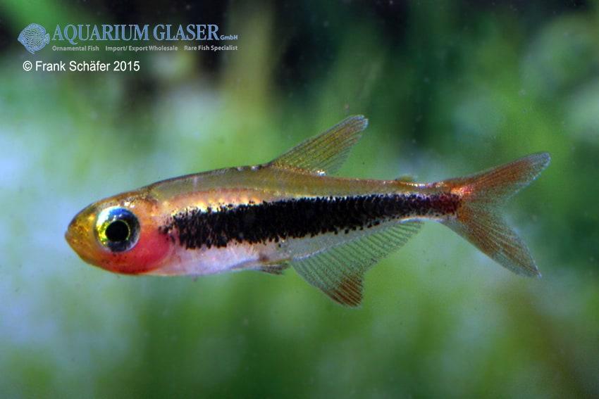 Tucanoichthys tucano - Salmler 3
