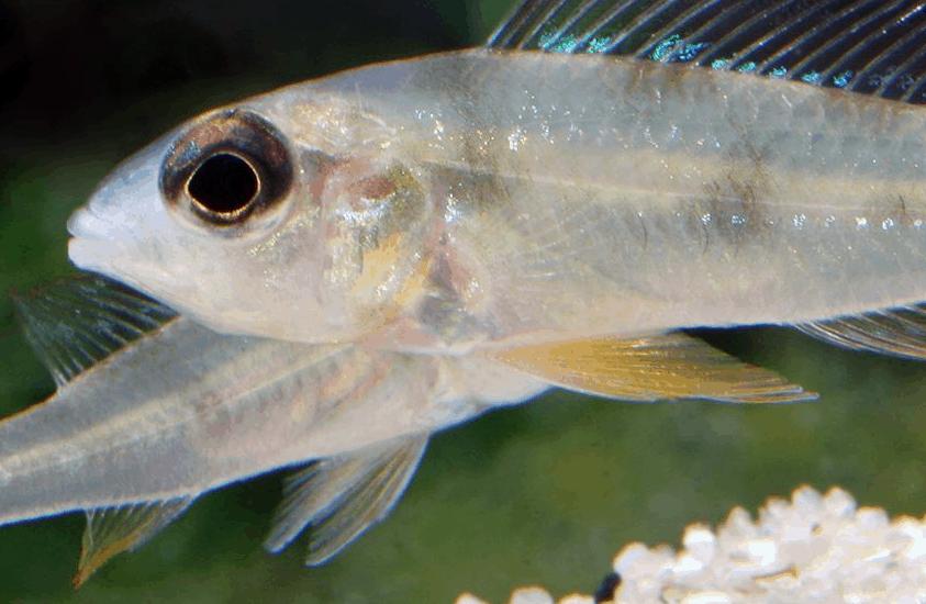 "Biotoecus opercularis ""Curua"" - Sandhügel-Zwergcichlide 3"