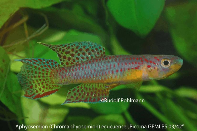 Aphyosemion (Chromaphyosemion) ecucuense - Ecucuense Zweistreifen Prachtkärpfling 1