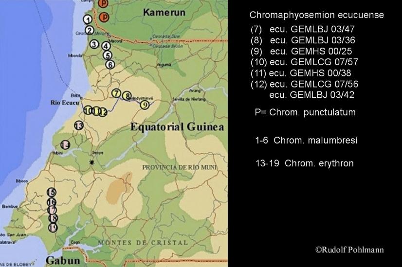Aphyosemion (Chromaphyosemion) ecucuense - Ecucuense Zweistreifen Prachtkärpfling 4