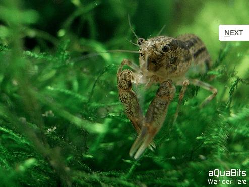 Cambarellus shufeldtii - Louisiana Zwergflußkrebs 1