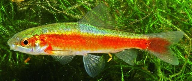 Unter den Saugbarben gibt es empfehlenswerte Aquarienfische: Garra culiciphaga. Foto: Jörg Freyhof